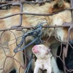 Ánh mắt đáng thương của chú chó mẹ khi cho con bị đem đi bán
