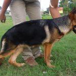 Chế độ ăn và tập luyện sức khỏe của các chú chó huấn luyện