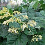 Bạn đã biết điều trị rối loạn kinh nguyệt bằng loại cây này chưa?
