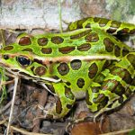Giới thiệu về loài ếch da báo Leopard Frogs