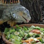 Rồng Nam Mỹ ăn gì?